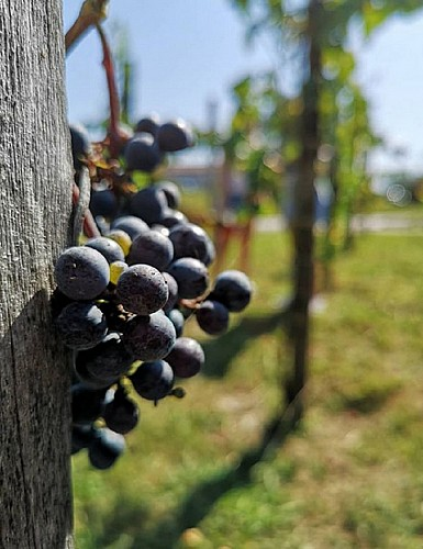 verger conservatoire Mugron - vigne