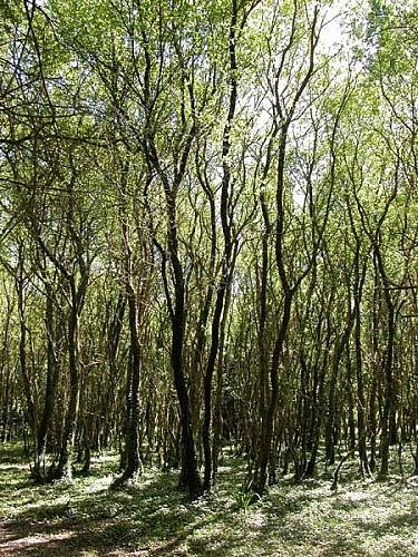 O bosque de Cortegada