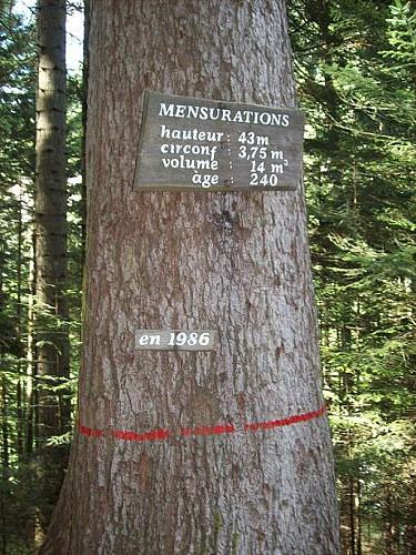 The Fir Tree President