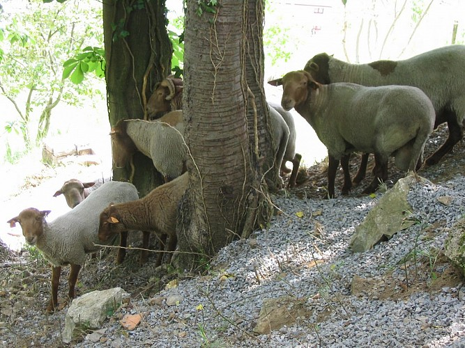 Prairie calcaire (moutons roux ardennais)