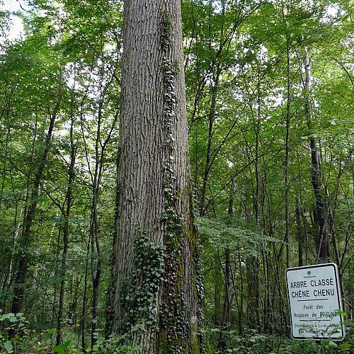 Arbre remarquable - Chêne du Rondelot