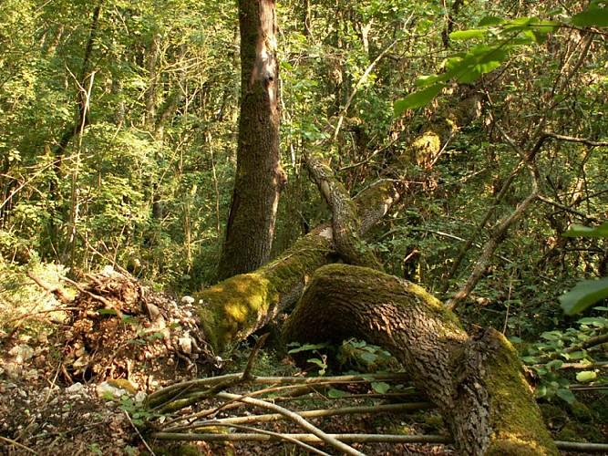 La forêt alluviale