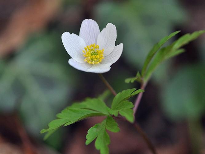 Les fleurs de la forêt domaniale de Colfontaine
