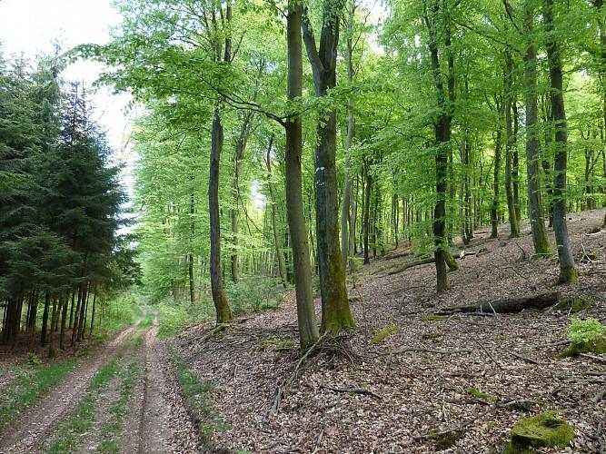 La forêt de Derenbach