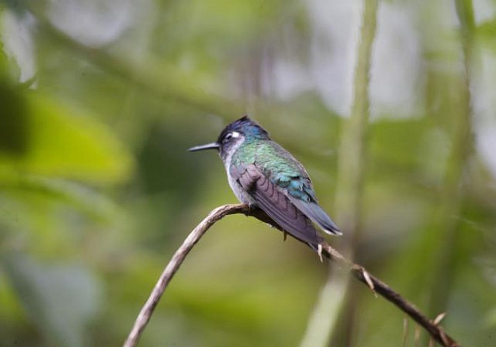Bird Watching Tour in The Heart of The Rainforest – Near Braulio Carrillo National Park