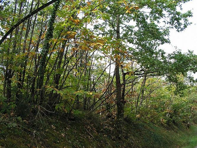 La forêt du Landais