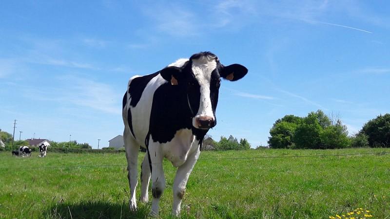 Beaulieu sur Loire-gaec des doucets- vache