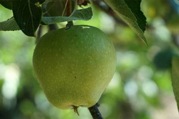 Fruit trees. The reproduction of plants