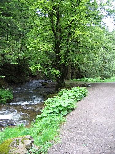 La forêt de hêtres