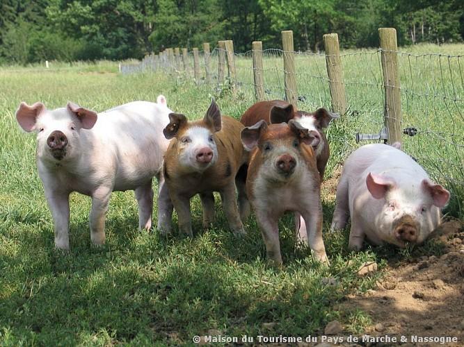Nassogne - Elevage de porcs de prairies d'Ardenne