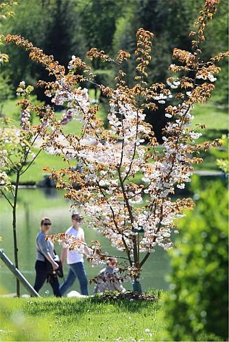Collection nationale de cerisiers à fleurs d'Asie