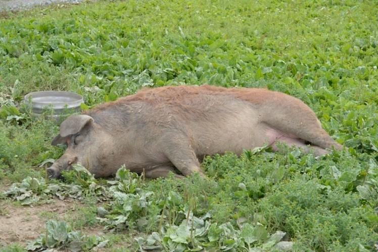 """Les """"petits cochons de Luc"""""""