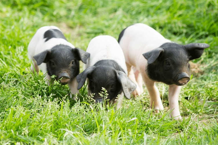 cochons-balade-pedagogique-pierre-oteiza