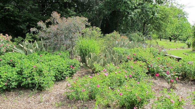 jardinpimpinellifolia_04