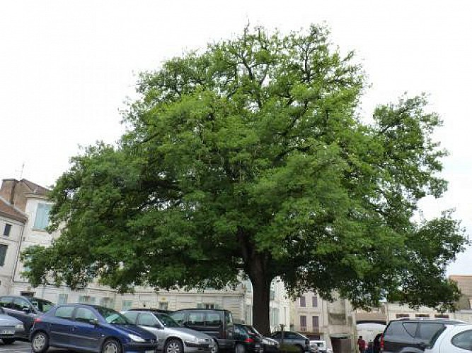 Chene-Sessile-quercus-Patraea-place-Victor-Hugo--environ-120-ans
