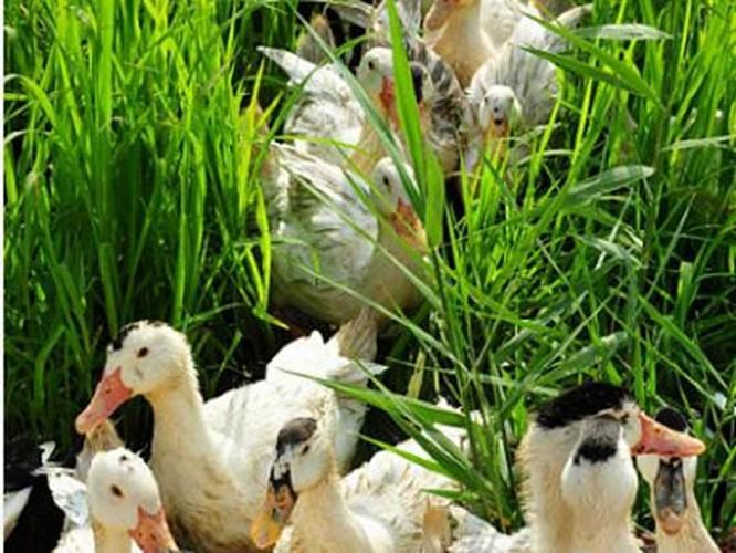 canards des rizières