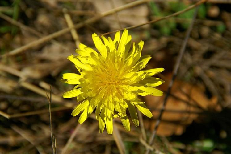 flore-pissenlit-6566