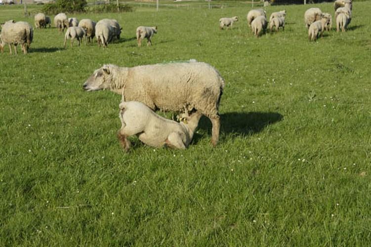 Moutons.jpg_2