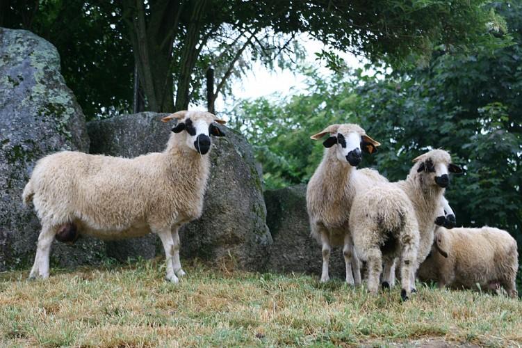 Un des moutons des cinq continents