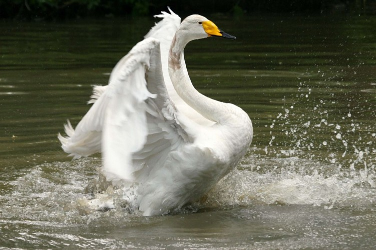 Une des 70 espèces d'oiseaux du Marais Poitevin présentes au parc
