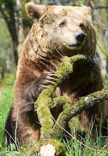 Ours brun, Zoodyssée, parc animalier à Villiers-en-Bois