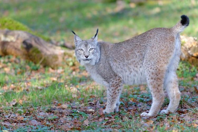 Le loup, Zoodyssée, parc animalier à Villiers-en-Bois