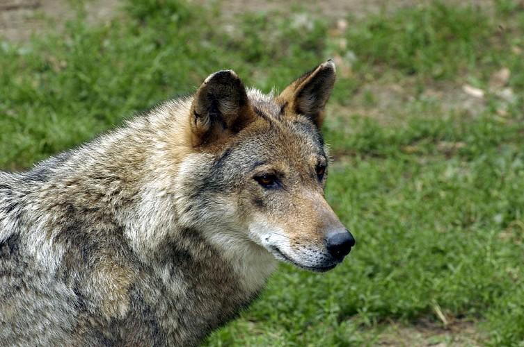 La loutre d'Europe, Zoodyssée, parc animalier à Villiers-en-Bois