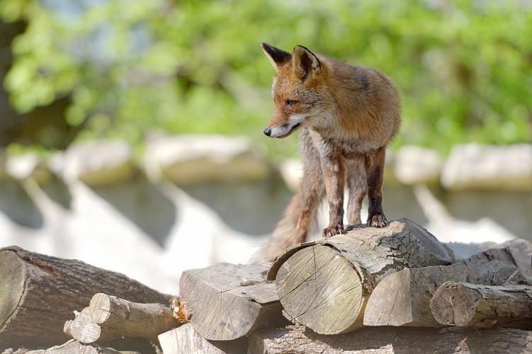 Cerf élaphe,  Zoodyssée, parc animalier à Villiers-en-Bois