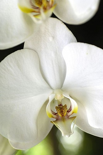 De frêles orchidées