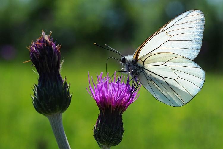 papillon 2474.JPG_2
