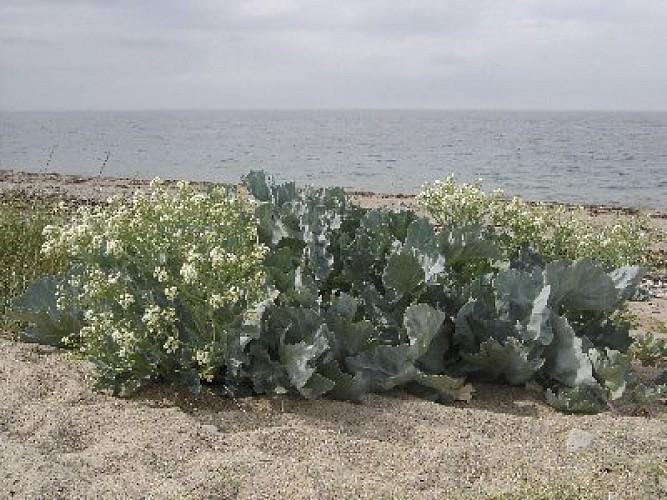 Quelques plantes du bord de mer