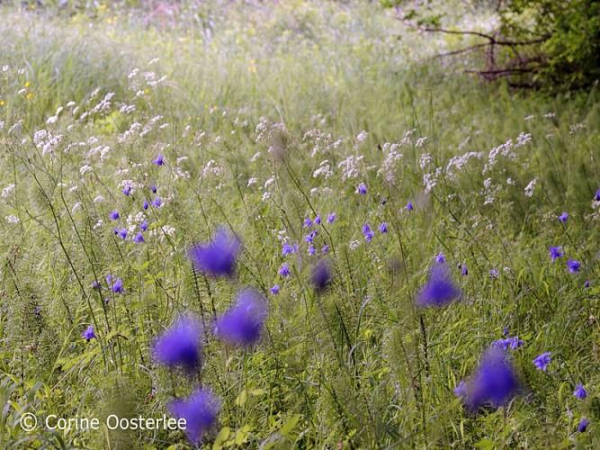 Balade Botanique - Corine Oosterlee