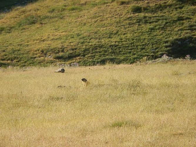 Naturaddict'64 - Observation de marmottes (Vernéjoul Guillaume)